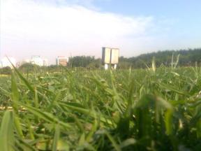 hutam bunga rumput